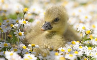 Duck Daisies wallpapers and stock photos