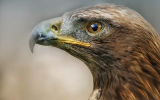 Eagle Macro Predator Bird wallpapers and stock photos