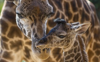 Giraffes Animals wallpapers and stock photos