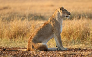 Lioness On Yellow Grass wallpapers and stock photos