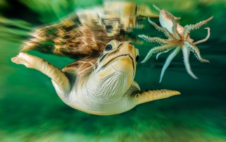 Turtle Octopus wallpapers and stock photos
