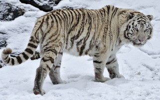 White Tiger On The Snow wallpapers and stock photos
