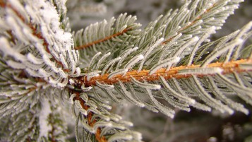 Snowy Pine wallpapers and stock photos
