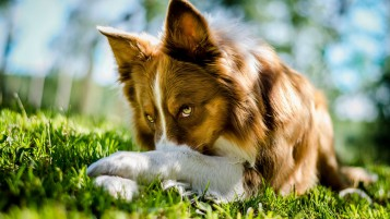 Hermoso Perro Collie wallpapers and stock photos