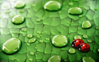 Leaf Water Drops Lady Birds wallpapers and stock photos