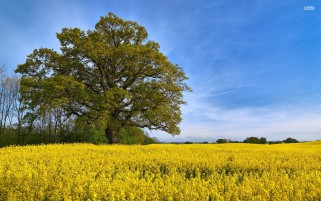Rape Seed Field Trees & Sky wallpapers and stock photos