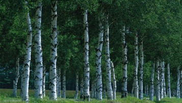Previous: Birch Forest