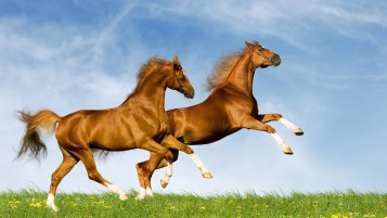 Splendid Horses Jumping Field wallpapers and stock photos