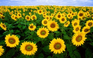 Random: Blazing Sunny Flower Field