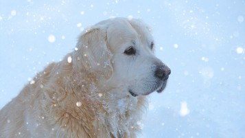 Golden Retriever in the Snow wallpapers and stock photos
