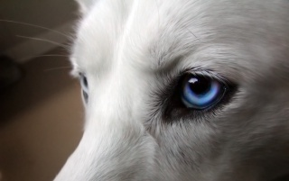 Dog Blue Eyes Makro wallpapers and stock photos