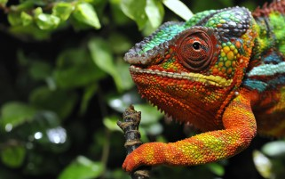 Chameleon Macro Colors wallpapers and stock photos