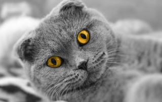 Cat With Big Yellow Eyes wallpapers and stock photos