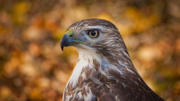 Hawk Profile wallpapers and stock photos