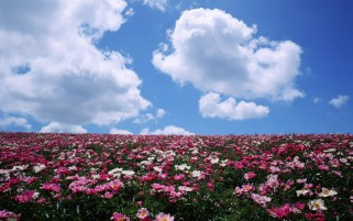 Random: Pink Flower Field Sky Clouds