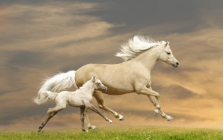 Gallant Horses Running Field wallpapers and stock photos