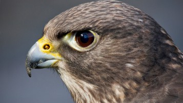 Hawk Close-up wallpapers and stock photos