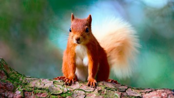 Cute Red Squirrel wallpapers and stock photos