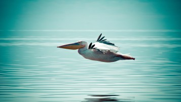 Pelican Flying over Water wallpapers and stock photos