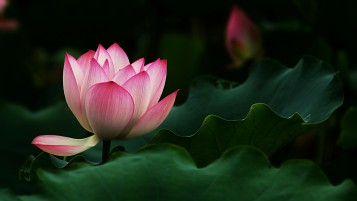 Beautiful Lotus Flower wallpapers and stock photos