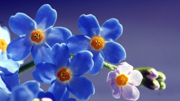 Random: Blue Forget Me Not Flower