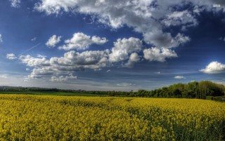 Rape Field & Fluffy Clouds wallpapers and stock photos