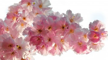 Beautiful Cherry Flowers wallpapers and stock photos
