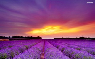 Random: Lavender Field & Purple Sunset