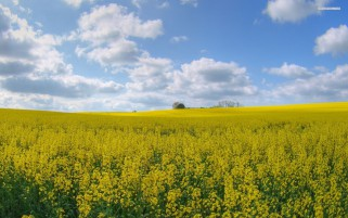 Pretty Rape Field wallpapers and stock photos