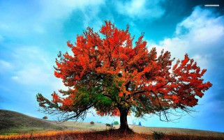 Beautiful Red Autumn Tree wallpapers and stock photos