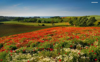 Poppy Fields Trees Hills Sky wallpapers and stock photos