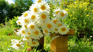 Chamomile Bouquet wallpapers and stock photos
