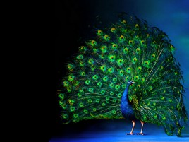 Peacock Luminous Feathering wallpapers and stock photos