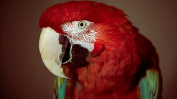Red Parrot wallpapers and stock photos
