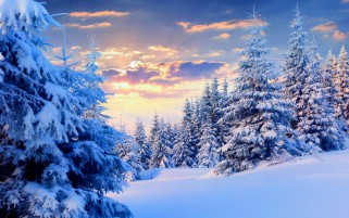 Firs Under Snow Forest wallpapers and stock photos