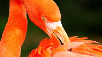 Orange Flamingo wallpapers and stock photos