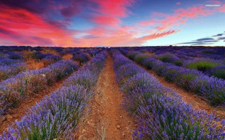 Lavender Field & Pink Sky wallpapers and stock photos