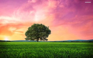 Pink Sunrise Tree Grass Field wallpapers and stock photos