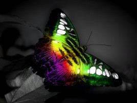 Random: Beautiful Rainbow Butterfly
