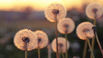 Summer Blurred Dandelions wallpapers and stock photos