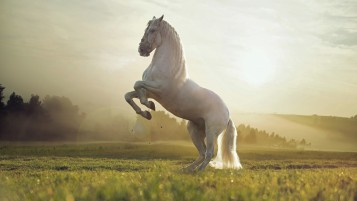 Beautiful White Horse wallpapers and stock photos