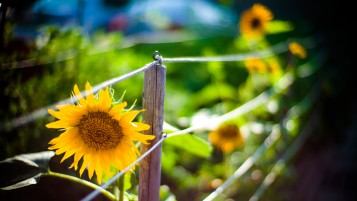 Sunflower Garden wallpapers and stock photos