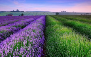 Lavender Fields & Houses wallpapers and stock photos