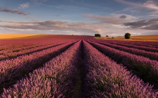 Wonderful Lavender Field wallpapers and stock photos