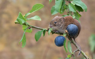 Mouse Rodent Branch wallpapers and stock photos