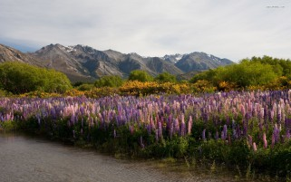 Mountains Lilac Flowers Creek wallpapers and stock photos