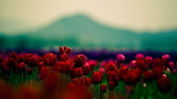 Tulipanes rojos Campo wallpapers and stock photos