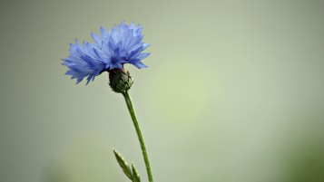 Cornflower wallpapers and stock photos