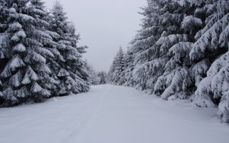 Pine Trees & Snowy Path wallpapers and stock photos