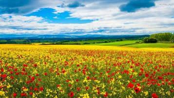 Poppy & Rape Seed Field wallpapers and stock photos